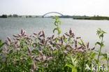 Hertsmunt (Mentha longifolia)
