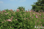 Koninginnekruid (Eupatorium cannabinum)
