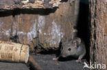 Oostelijke huismuis (Mus musculus)