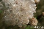 Speerdistel (Cirsium vulgare)