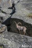 Steenbok (Capra ibex)