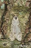 Voorjaarskortvleugelmot (Diurnea fagella)