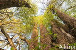 Wilg (Salix)