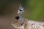 Kuifmees (Parus cristatus)