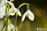 Gewoon sneeuwklokje (Galanthus nivalis)