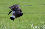 Kievit (Vanellus vanellus)