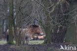 Przewalskipaard (Equus przewalskii)
