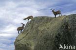 Iberische Steenbok (Capra pyrenaica)