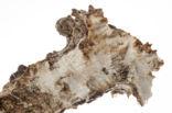 Ree (Capreolus capreolus)