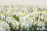 Hyacint (Hyacinthus orientalis)
