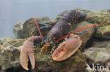 europese oosterschelde kreeft (homarus gammarus)