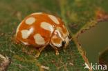 Tienvleklieveheersbeestje (Calvia decemguttata)