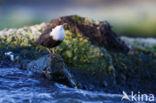 Zwartbuikwaterspreeuw (Cinclus cinclus cinclus)