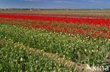 Tulp (Tulipa)