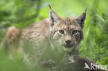 Euraziatische lynx (Lynx lynx)