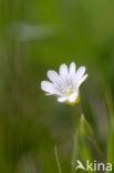Hoornbloem (Cerastium spec.)