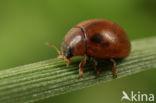 Onbestippeld lieveheersbeestje (Cynegetis impunctata)