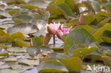 Waterlelie (Nymphaea blanda)