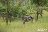 Burchell s zebra (Equus burchellii)