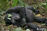 Berggorilla (Gorilla beringei beringei)