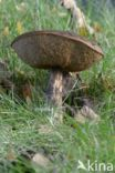 Gewone berkenboleet (Leccinum scabrum)