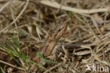 Gladde slang (Coronella austriaca)