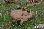 Gewone krulzoom (Paxillus involutus)