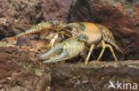 Geknobbelde Amerikaanse Rivierkreeft (Orconectes virilis)