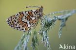 Veldparelmoervlinder (Melitaea cinxia)