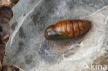 Bruine wapendrager (Clostera curtula)