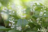 Dalkruid (Maianthemum bifolium)