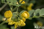 Europese blazenstruik (Colutea arborescens)