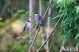 Glanskop (Parus palustris)