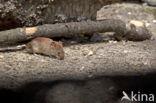 Ondergrondse woelmuis (Microtus subterraneus)