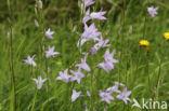 Rapunzelklokje (Campanula rapunculus)