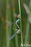 Waterjuffer (Coenagrion sp.)