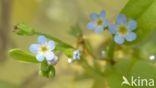 Moeras vergeet-mij-nietje (Myosotis palustris)