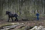 Belgisch trekpaard