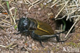 Veldkrekel (Gryllus campestris)