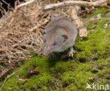 Huisspitsmuis (Crocidura russula)