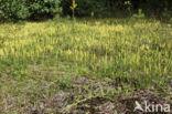Grote wolfsklauw (Lycopodium clavatum)
