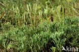 Kleine wolfsklauw (Diphasiastrum tristachyum)