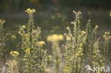 Grote teunisbloem (Oenothera erythrosepala)