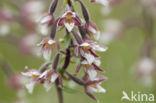Moeraswespenorchis (Epipactis palustris)