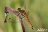 Kempense heidelibel (Sympetrum depressiusculum)