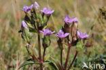 Veldgentiaan (Gentianella campestris)