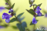 Blauw glidkruid (Scutellaria galericulata)