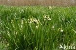 Zomerklokje (Leucojum aestivum)