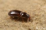 Gewoon Boogje (Trechus obtusus)