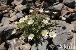 Alpenhoornbloem (Cerastium alpinum)